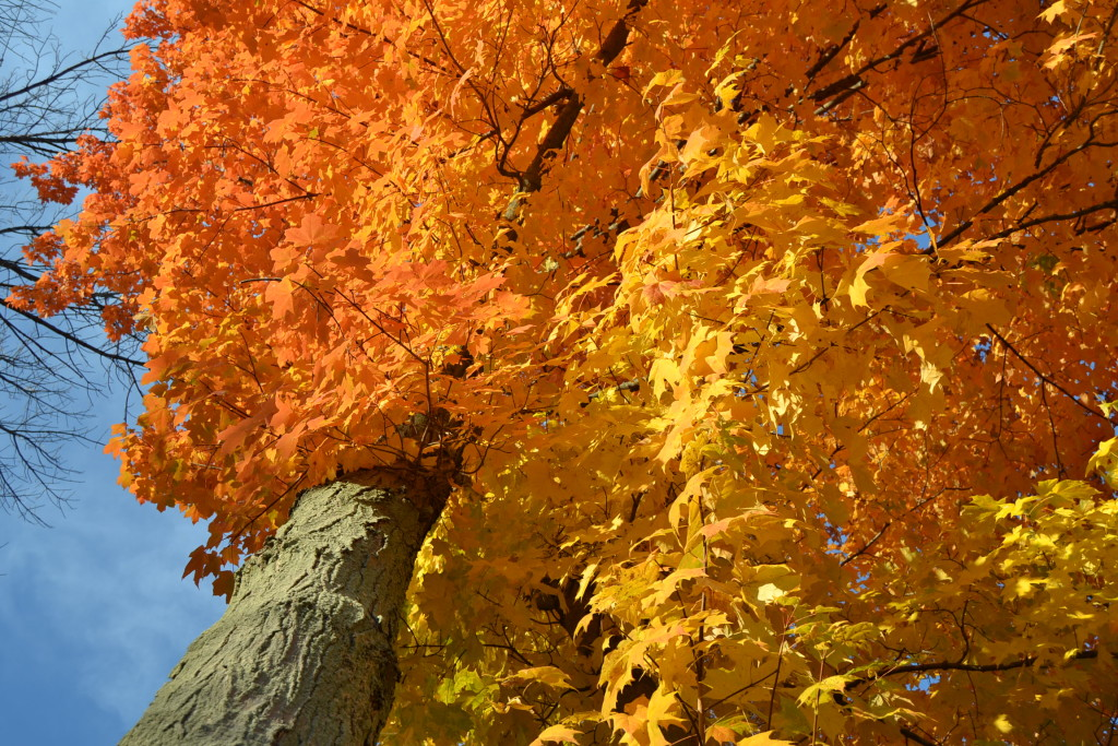 A glowing maple tree in the fall