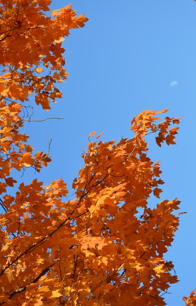 The moon in the afternoon glow of a colorful maple tree