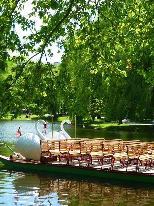 Swan Boats in the Pond at the Boston Public Garden