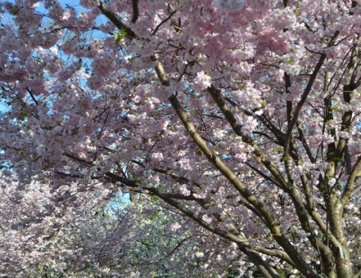 Brooklyn-Botanic-Garden-Cherry-Blossoms-19